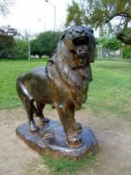 Lion rugissant – León – Zoologico municipal – Parc zoologique – Montevideo