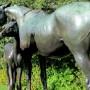 La jument et son poulain – Mare (La Reyna) and Foal – Royal Botanic Garden – Sydney