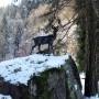 Cerf d'Europe - Saint-Gervais-les-Bains - Image1
